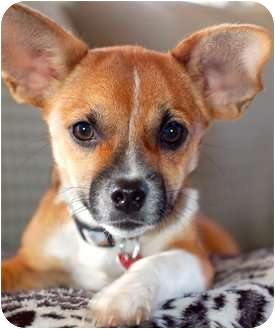 Chihuahua Mix Dog for adoption in Wakefield, Rhode Island - BANDIT(WHAT A CUTIE!!)