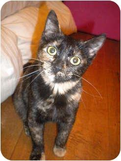 Domestic Shorthair Kitten for adoption in Beverly, Massachusetts - Autumn