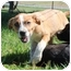 Photo 2 - Labrador Retriever/Cattle Dog Mix Puppy for adoption in Hagerstown, Maryland - Delilah
