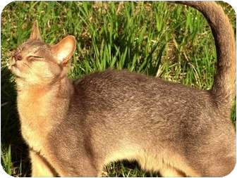 Abyssinian Cat for adoption in Colville, Washington - Casey