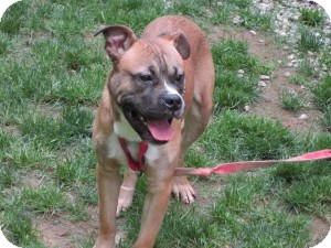 Boxer/Labrador Retriever Mix Dog for adoption in Bloomfield, Connecticut - Veteran