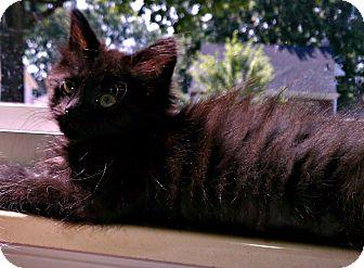 Domestic Mediumhair Kitten for adoption in Warren, Michigan - Bella