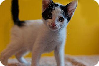 Domestic Shorthair Kitten for adoption in Columbia, Illinois - Kristopher