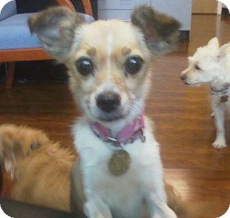 Chihuahua/Italian Greyhound Mix Dog for adoption in Oak Ridge, New Jersey - Kimmi