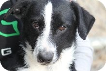 Terrier (Unknown Type, Small) Mix Puppy for adoption in Russellville, Kentucky - Tristan