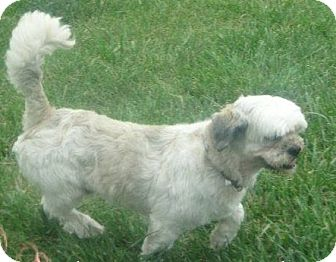 Lhasa Apso Mix Dog for adoption in Prole, Iowa - Max