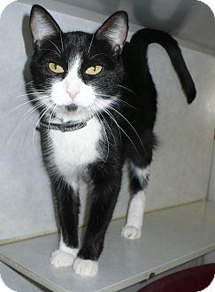 Domestic Shorthair Cat for adoption in Pueblo West, Colorado - Crystal