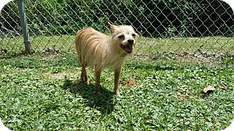 Chihuahua/Yorkie, Yorkshire Terrier Mix Dog for adoption in Laplace, Louisiana - Allie