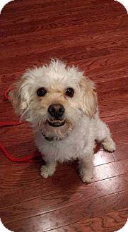 Maltese Mix Dog for adoption in Plainfield, Illinois - McCoy