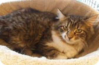Domestic Mediumhair Cat for adoption in Bear, Delaware - Isabella