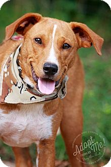 Beagle/Basenji Mix Dog for adoption in Wilmington, Delaware - Scout