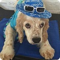 Adopt A Pet :: Shiloh - Sugarland, TX