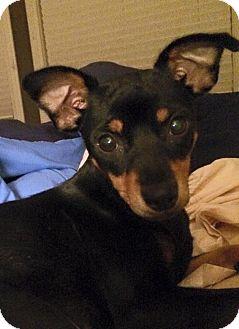 Miniature Pinscher Dog for adoption in Denver, Colorado - Liza