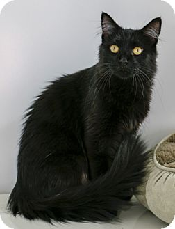 Domestic Mediumhair Cat for adoption in Portland, Oregon - Amora