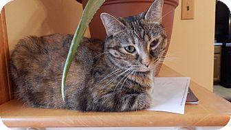 Domestic Shorthair Cat for adoption in Naperville, Illinois - Viola - Adoption Pending