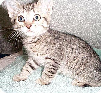 Domestic Mediumhair Kitten for adoption in Fayetteville, Georgia - Larry