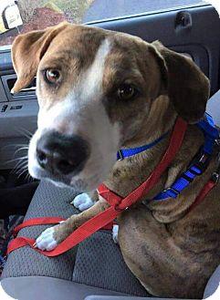 Plott Hound Mix Dog for adoption in Beachwood, Ohio - Moose_Courtesy Listing