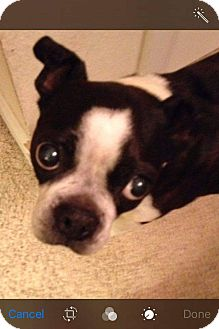 Boston Terrier Dog for adoption in Weatherford, Texas - Abby Gail