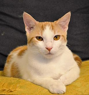 Domestic Shorthair Cat for adoption in Morehead, Kentucky - Chance ADULT MALE