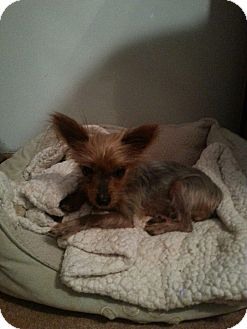 Yorkie, Yorkshire Terrier Dog for adoption in Boydton, Virginia - Olive