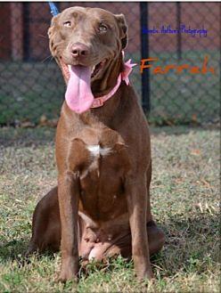 Labrador Retriever Mix Dog for adoption in Cat Spring, Texas - Farrah