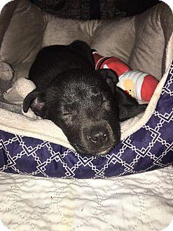 Australian Cattle Dog Mix Puppy for adoption in Salamanca, New York - Bear (Adoption Pending)