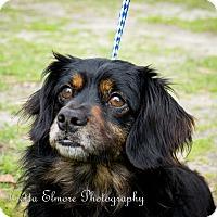 Adopt A Pet :: Shaggy - Daleville, AL