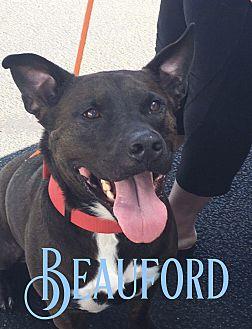 Basset Hound/Labrador Retriever Mix Dog for adoption in Cheney, Kansas - Beauford