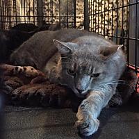 Adopt A Pet :: Bear - Levittown, NY