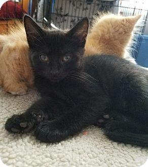 Domestic Shorthair Kitten for adoption in Barrington, New Jersey - Anna