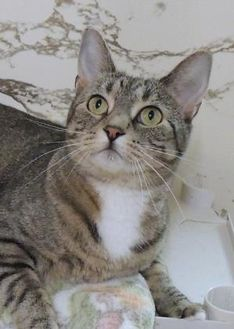 Domestic Shorthair/Domestic Shorthair Mix Cat for adoption in Westville, Indiana - Sara
