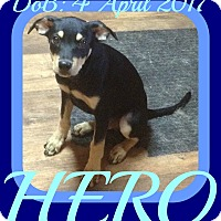Miniature Pinscher/Chihuahua Mix Puppy for adoption in New Brunswick, New Jersey - HERO