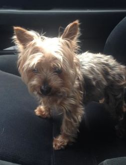 Yorkie, Yorkshire Terrier Mix Dog for adoption in Waldorf, Maryland - Chloe