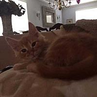Adopt A Pet :: China (Chyna) - Calimesa, CA