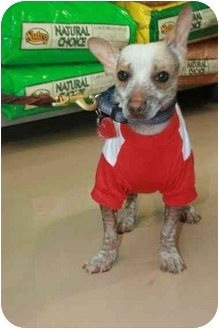 Xoloitzcuintle/Mexican Hairless Puppy for adoption in Sherman Oaks, California - Raphaelle