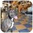Photo 1 - Belgian Shepherd/Labrador Retriever Mix Dog for adoption in Boca Raton, Florida - Delilah