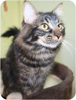 Domestic Mediumhair Cat for adoption in Edmonton, Alberta - Meg
