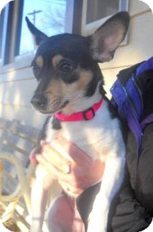 Terrier (Unknown Type, Small)/Chihuahua Mix Dog for adoption in Columbus, Nebraska - Piper