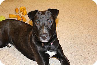Labrador Retriever/Border Collie Mix Dog for adoption in Grand Rapids, Michigan - Sammy