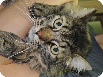 Maine Coon Cat for adoption in Anchorage, Alaska - James
