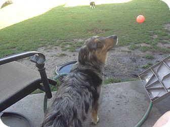 Australian Shepherd Mix Dog for adoption in Overland Park, Kansas - MJ