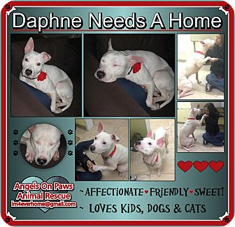 Pit Bull Terrier Mix Dog for adoption in Northfield, New Jersey - Daphne