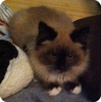 Ragdoll Kitten for adoption in Tracy, California - Mandalay-ADIOPTED!