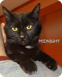 Domestic Mediumhair Cat for adoption in Lapeer, Michigan - MIDNIGHT-SPONSORED!  CUDDLY!
