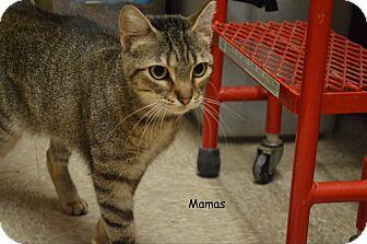 Domestic Shorthair Cat for adoption in Arlington/Ft Worth, Texas - Mama