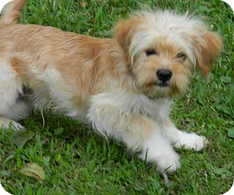 Poodle (Miniature)/Pomeranian Mix Puppy for adoption in Conesus, New York - Oliver