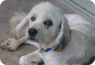 Old English Sheepdog Mix Dog for adoption in Allentown, Pennsylvania - Digby