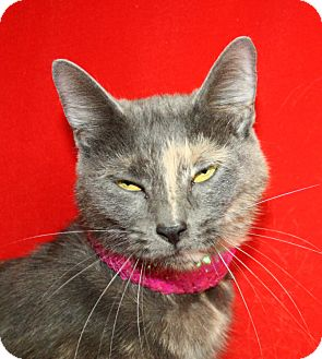 Domestic Shorthair Cat for adoption in Jackson, Michigan - Caitlyn