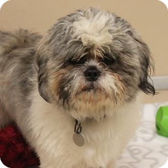 Shih Tzu Mix Dog for adoption in Naperville, Illinois - Kirby