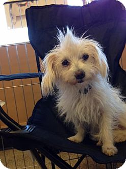 Maltese/Yorkie, Yorkshire Terrier Mix Dog for adoption in Phoenix, Arizona - Petal